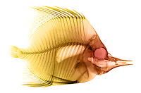 X-ray image of a butterflyfish (yellow on white) by Jim Wehtje, specialist in x-ray art and design images.