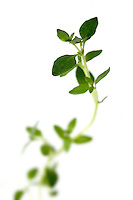Thyme on white background - close-up