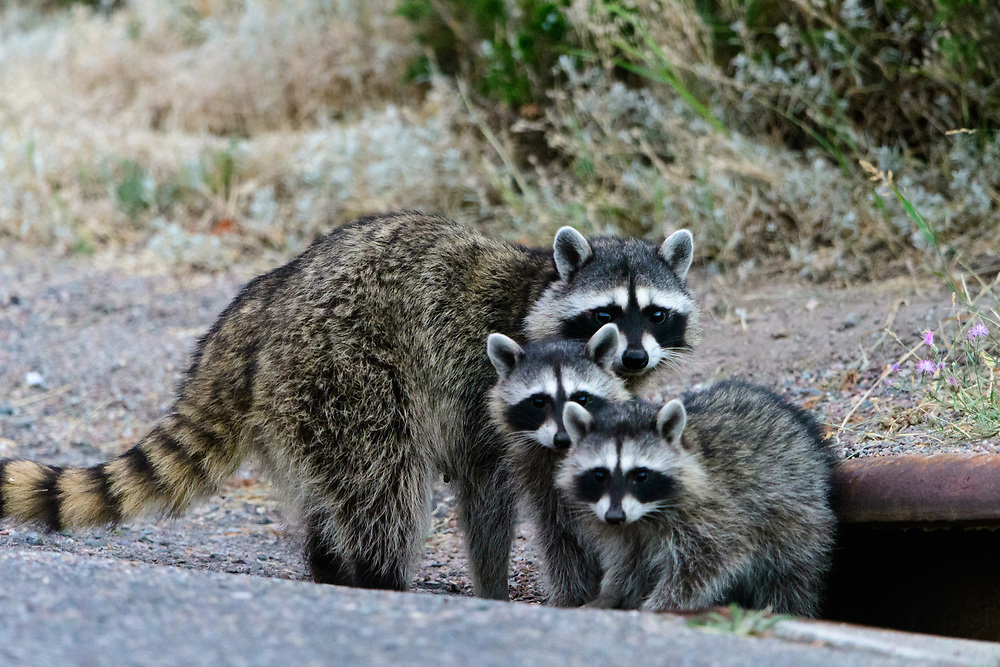 Raccoon Mother with babies (Procyon lotor), Missoula, Montana