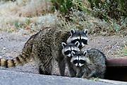 Raccoon Mother with babies (Procyon lotor), Missoula, Montana