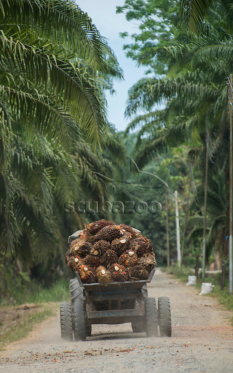 A truck loaded with oil palm fruit driving along a track in a plantation, Labuk Bay, Sabah, Malaysia.