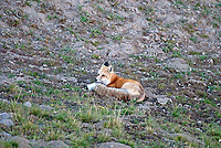 A Red Fox rests in the shade of a hill after a long afternoon chasing mice and voles.