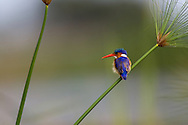 Malachite kingfisher (Corythornis cristata) resting on a grass with seed pods, Botswana.