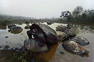 Giant tortoises mating, Geochelone nigra, Alcedo Volcano, Isabela Island, Galapagos Islands