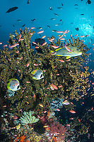 Sweetlips', Butterflyfishes, Tree Coral, and Sunshine <br /> <br /> Shot in Indonesia