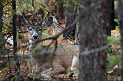 A white-tailed buck bedded down in a lodgepole pine forest in fall. Yaak Valley in the Purcell Mountains, northwest Montana.