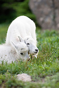 Two mountain goat kids play in Glacier National Park. Missoula Photographer, Missoula Photographers, Montana Pictures, Montana Photos, Photos of Montana