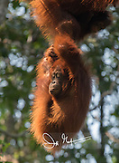 A juvenile Bornean orangutan, Pongo pygmaeus hangs from its mother high in the forests of Tanjung Puting National Park on the island of Borneo, Indonesia.