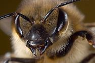 DEU, Deutschland: Biene, Honigbiene (Apis mellifera), Portrait  einer Biene (Arbeiterin), Mundwerkzeuge geöffnet, Bienenstation an der Bayerischen Julius-Maximilians-Universität Würzburg | DEU, Germany: Bee, Honey-bee (Apis mellifera),  portrait, close-up of a workerbee, open mandibles, Beestation at the Bavarian Julius-Maximilians-University Würzburg