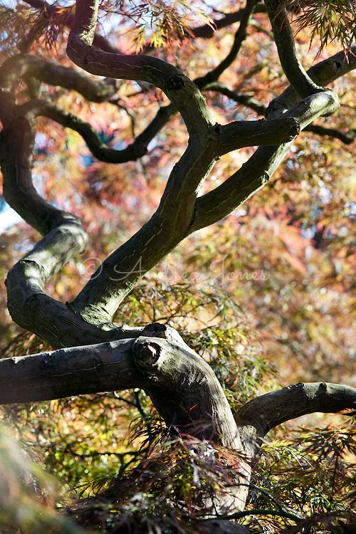 Acer palmatum var. dissectum, Dissectum Atropurpureum Group. RBG Kew, Richmond, UK.