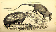 Armadillo from General zoology, or, Systematic natural history Part I, by Shaw, George, 1751-1813; Stephens, James Francis, 1792-1853; Heath, Charles, 1785-1848, engraver; Griffith, Mrs., engraver; Chappelow. Copperplate Printed in London in 1800. Probably the artists never saw a live specimen