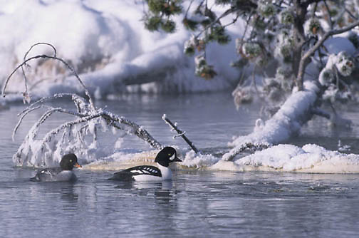 Common Goldeneye, (Buecphala clangula) Firehole River. Yellowstone National Park.