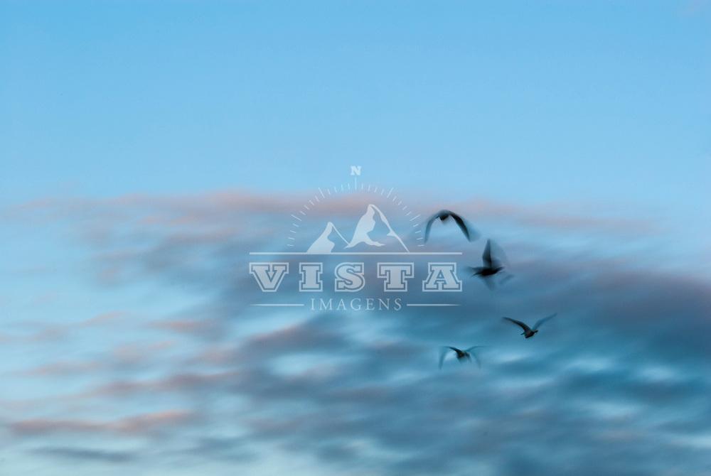 Garça-branca-pequena, Snowy Egret (Egretta thula), Lagoa da Conceição, Florianópolis, Santa Catarina, foto de Zé Paiva - Vista Imagens