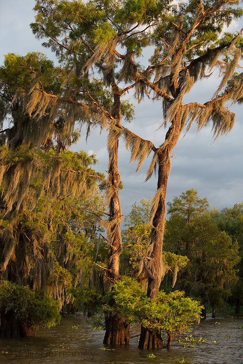 Moss on live oak trees on the banks of Flat Lake, part of Lousiana's wetlands