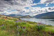 Lupines at Kekuli Bay Provincial Park on Kalamalka Lake near Vernon, British Columbia, Canada