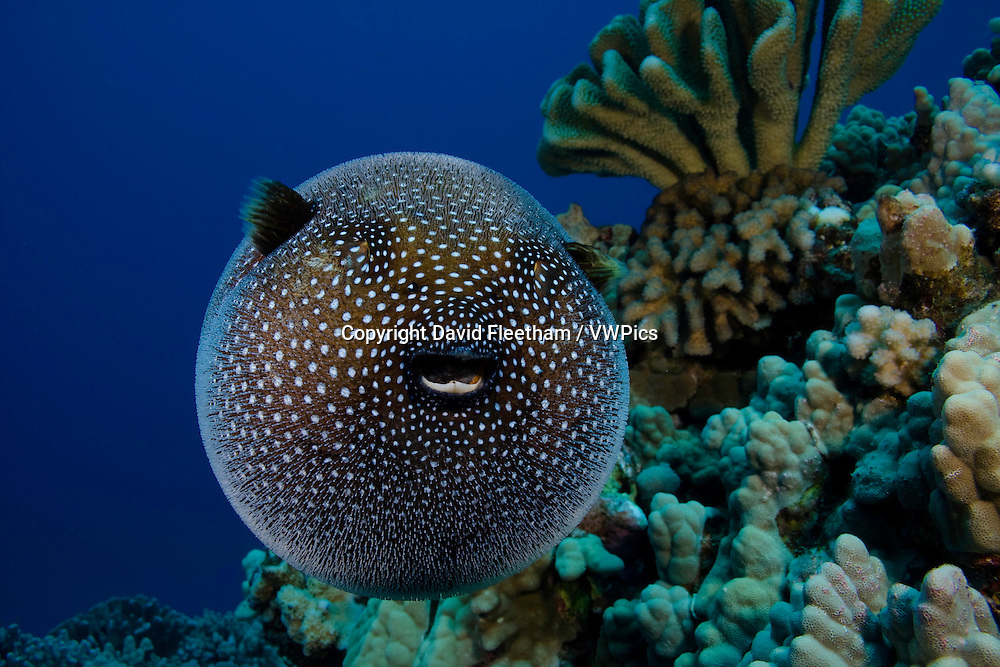 A Guineafowl pufferfish, Arothron meleagris, Hawaii.