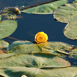 Gele plomp, Nuphar lutea