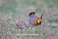 00842-04012 Greater Prairie-Chickens (Tympanuchus cupido)  male booming displaying near female on lek Prairie Ridge State Natural Area Jasper Co, IL