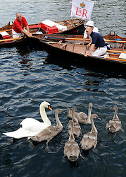 © licensed to London News Pictures. LONDON, UK.  18/07/11. The uppers round up a brood of cygnets. Swan Upping takes place on the River Thames today (18 July 2011). Swan Upping dates from medieval times, when The Crown claimed ownership of all mute swans which were considered an important food source for banquets and feasts. Today, the cygnets are weighed and measured to obtain estimates of growth rates and the birds are examined for any sign of injury, commonly caused by fishing hook and line. The cygnets are ringed with individual identification numbers by The Queen's Swan Warden, whose role is scientific and non-ceremonial. The Queen's Swan Marker produces an annual report after Swan Upping detailing the number of swans, broods and cygnets counted during the week. Mandatory Credit Stephen Simpson/LNP