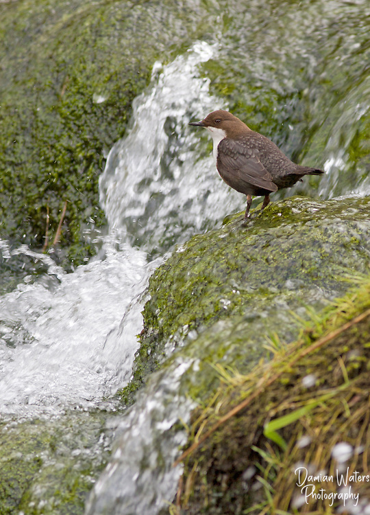 Dipper Cinclus cinclus - beside fast flowing waterfall, Derbyshire, UK - March
