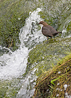 Dipper Cinclus cinclus - beside fast flowing waterfall, Derbyshire, UK - March