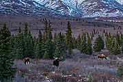 A bull Alaskan moose with potential female mates during the autumn rut in Denali National Park, McKinley Park, Alaska.