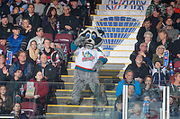 KELOWNA, CANADA - NOVEMBER 21: Rocky Racoon, the mascot of the Kelowna Rockets dances in the stands with fans against the Portland Winterhawks on November 21, 2014 at Prospera Place in Kelowna, British Columbia, Canada.  (Photo by Marissa Baecker/Shoot the Breeze)  *** Local Caption *** Rocky Racoon;
