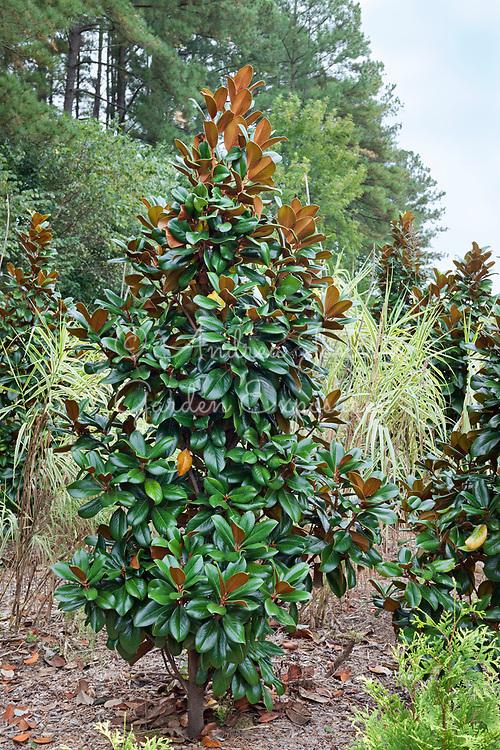Magnolia grandiflora 'Teddy Bear' at Weston Farms Magnolias, Raleigh, NC, USA