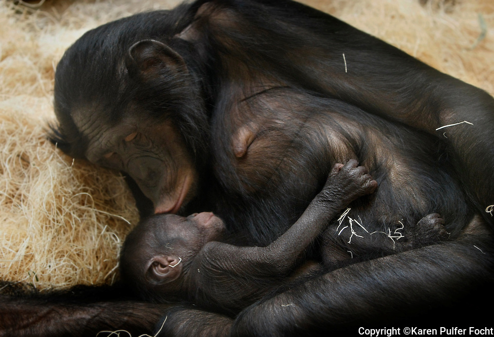A mother Bonobo snuggles her baby at The Memphis Zoo, Memphis, Tennessee