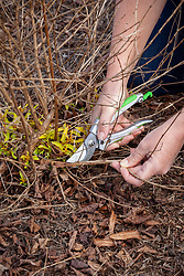 Cutting back old stems of hardy fuchsias in spring with secateurs
