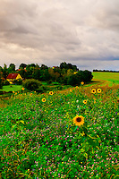 A field of sunflowers, Hotel Gutshaus Stellshagen, Stellshagen, Mecklenburg-West Pomerania, Germany