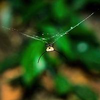 Armored Spider in web, Ban Pak Ou, Luang Phrabang, Laos