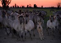 Konik horses at dusk. Oostvaardersplassen, Netherlands. Mission: Oostervaardersplassen, Netherlands
