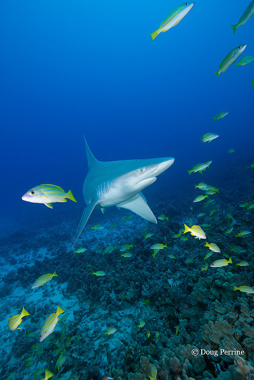 sandbar shark, Carcharhinus plumbeus, with bluestripe snapper or taape, Lutjanus kasmira, Honokohau, North Kona, Hawaii ( the Big Island),  United States ( Central North Pacific Ocean )