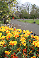 Tulip flowers in St Stephen's Green park in Dublin Ireland