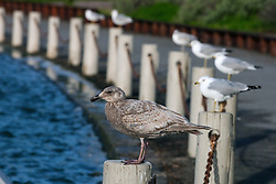 Juvenile Western Gull, Larus occidentalis, Palo Alto Duck Pond, Palo Alto, California, United States of America