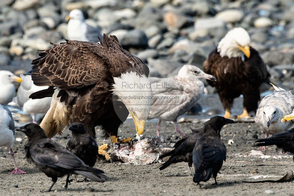 Adult bald eagles eating fish scraps surrounded by gulls and ravens on the beach at Anchor Point, Alaska.