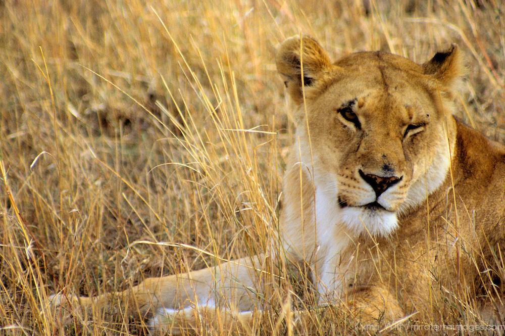 Africa, Kenya, Maasai Mara. Adult female lion, or lioness.