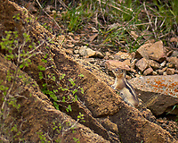 Chipmunk climbing a rock. Rocky Mountain National Park. Image taken with a Nikon D2xs camera and 105 mm f/2.8 VR macro lens (ISO 100, 105 mm, f/2.8, 1/800 sec).
