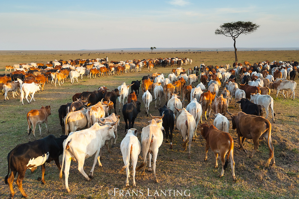 Masai herdsman leading cattle illegally into the Masai Mara National Reserve, Kenya