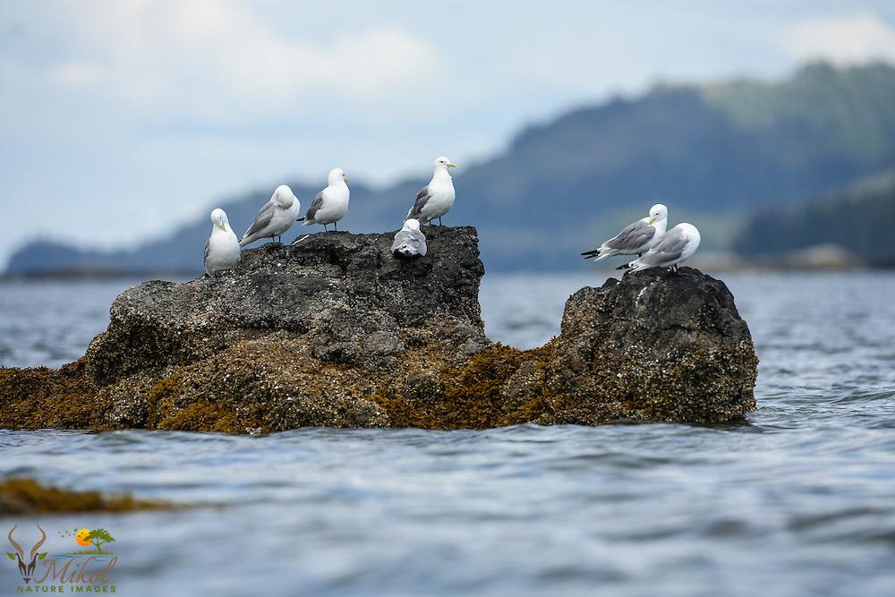 Black-legged Kittiwakes on rocks