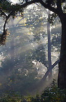 Early morning in the sal forest, with sun beams and mist, Bardia National Park, Nepal