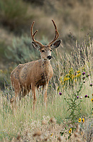 An August Mule Deer in velvet feeds its way up the side of a grassy sage hillside.
