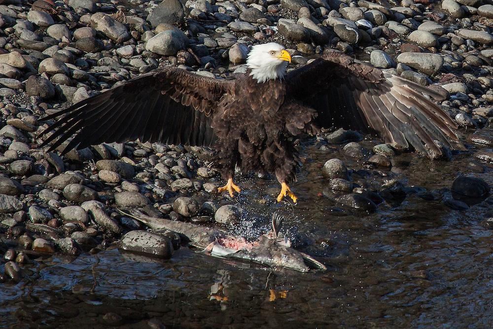 Wintering bald eagle feasting on spawned salmon, Deming, Washington