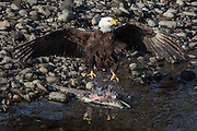Wintering bald eagle feasting on spawned salmon, Deming, Washington