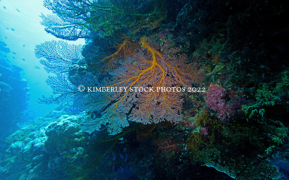 Colourful Gorgonian fans grow in a cave on Mermaid Reef at the Rowley Shoals.