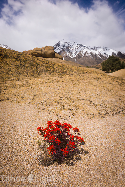 Lone Indian Paintbrush wildflower plant in the granitic rock of the Buttermilks west of Bishop, California in the Eastern Sierra mountains with snow covered mountains in background.