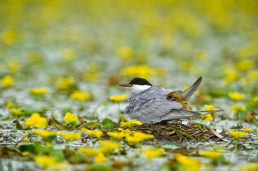 Whiskered Tern (Chlidonias hybridus) and its chick on water covered with yellow floating heart (Nymphoides peltata) in Hortobagy National Park, Hungary
