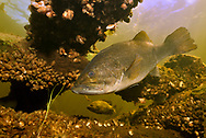 Largemouth Bass (with zebra mussels)<br /> <br /> Engbretson Underwater Photography