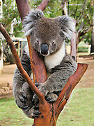 A captive koala rests in a tree at Bonorong Wildlife Park, Briggs Road, Brighton, Tasmania, Australia. The koala (Phascolarctos cinereus) is an arboreal herbivorous marsupial native to Australia, and the only surviving member of the family Phascolarctidae. The koala is found in coastal regions of eastern and southern Australia, from Adelaide to the southern part of Cape York Peninsula, extending inland where enough moisture supports suitable woodlands. The koalas of South Australia were mostly exterminated during the early 1900s, but have been repopulated with Victorian stock. The koala is not found in Tasmania or Western Australia. The koala is one of the few mammals (other than primates) that has fingerprints. It is generally silent, but males have a very loud advertising call that can be heard from almost a kilometer away during the breeding season. The koala requires large areas of healthy, connected forest and will travel long distances along tree corridors in search of new territory and mates. Human encroachment cuts these corridors with agricultural and residential development, forestry, and road-building, marooning koala colonies in decreasing areas of bush.
